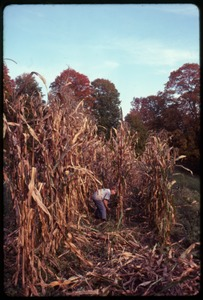 Thumbnail of Eben Light playing among dried corn stalks, Montague Farm commune