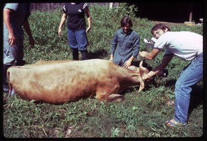 Thumbnail of Harvey Wasserman, Tony Mathews, and others (r. to l.) with a calving cow, Montague Farm commune
