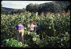 Thumbnail of Nina Keller (facing the camera) and Charles Light (back to camera) in a mature cornfield, Montague Farm commune