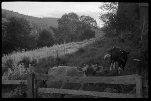 Thumbnail of Cows (Jersey in front) in a pen by the barn, Montague Farm Commune