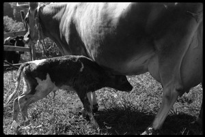 Thumbnail of Jersey cow and new born calf, Montague Farm Commune