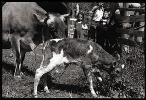 Thumbnail of New born Jersey calf and mother, Montague Farm Commune