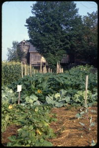 Thumbnail of The  vegetable garden, Montague Farm Commune Beans, squash, cabbage, and corn in foreground, the barn at the rear