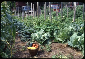 Thumbnail of The  vegetable garden, Montague Farm Commune A basket of squash and tomatoes near rows of cabbage and corn