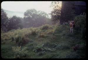 Thumbnail of Cow walking past the barn, Montague Farm Commune