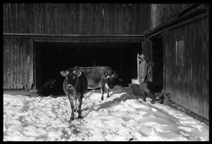 Thumbnail of Cows and Nina Keller by the barn, Montague Farm commune