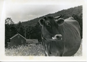 Thumbnail of Jersey cow in a field, Montague Farm Commune