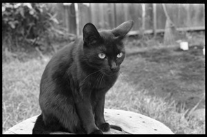 Thumbnail of Black cat sitting on a stool in a back yard