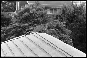Thumbnail of Tabby cat seated on a roof ridge