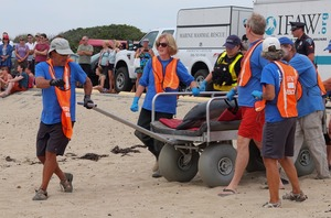 Thumbnail of International Fund for Animal Welfare volunteers carry a stranded dolphin on a gurney