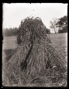 Thumbnail of Sheaf of millet on field west of Hatch Barn, Massachusetts Agricultural College             farm
