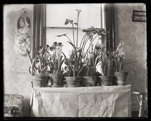 Thumbnail of Potted plants, Massachusetts Agricultural College
