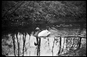 Thumbnail of JFK Lower (UMass Amherst dormitory) picnic at Look Park Swan swimming in the creek