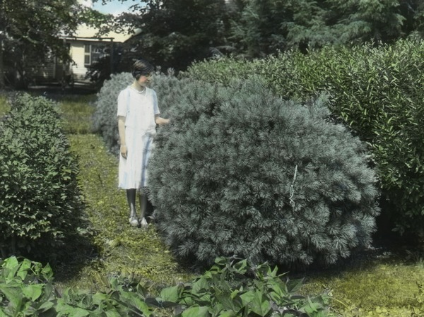 White pine and Euonymus hedges (woman among hedges), ca. 1925