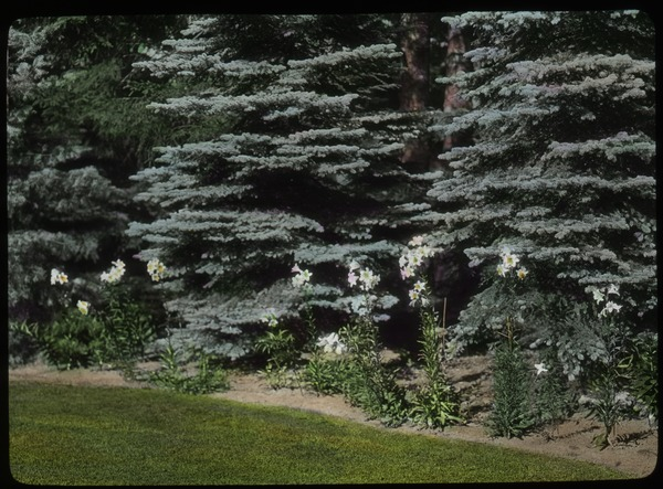 Lilies, blue spruce? Bordering grass, undated