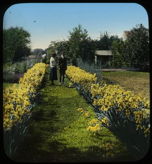 Man and woman on path between two rows of yellow bearded iris, undated