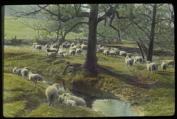 Flock of Sheep grazing by steam, field and trees, undated