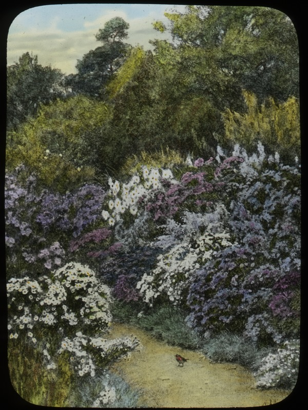 Michaelmas Daises (white and purple flowering shrubs along path), undated