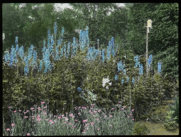 Waugh Garden (tall blue flowers with birdhouse), undated