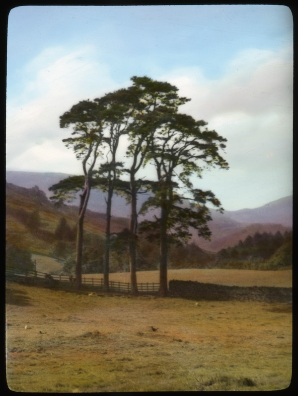 Scotch Pines (they call them firs) at Coniston, 1936