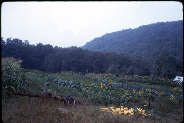 Field, with squash harvest in foreground, August 1969