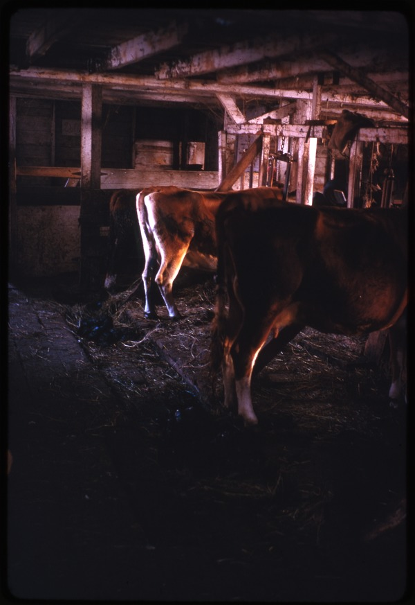 Cows in the barn, Montague Farm Commune, November 1970