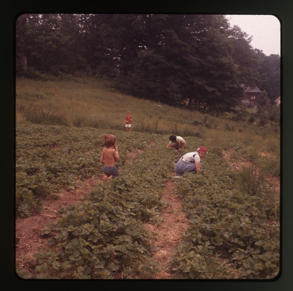 Harvesting (with kids), Montague Farm Commune, June 1978