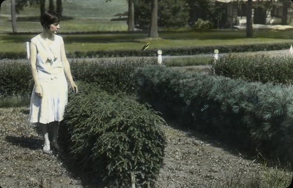 Canada hemlock: woman standing next to hedge, ca. 1925