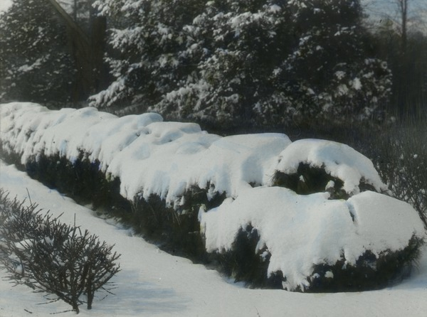 White Pine used as a hedge (under snow), ca. 1925