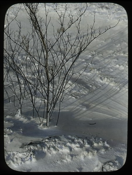 Deciduous shrub in snow, ca. 1925
