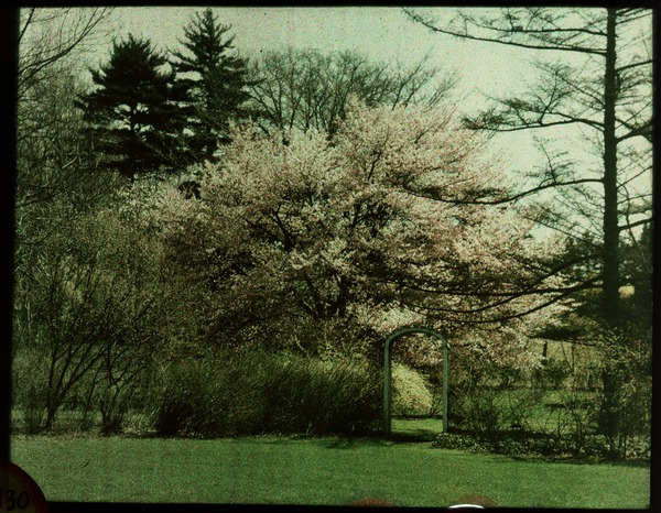 Garden in Spring: flowering tree behind bushes and archway, ca. 1925