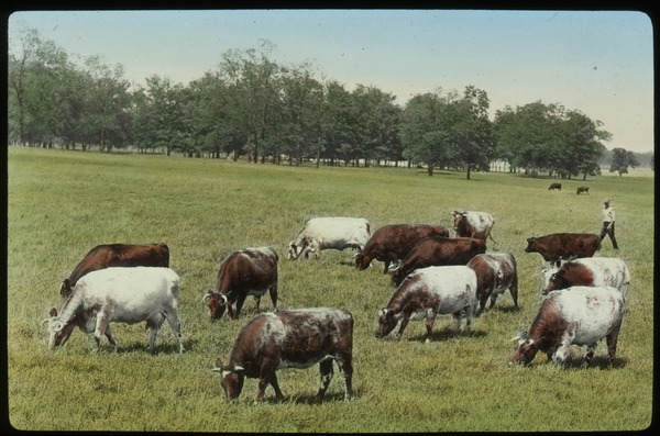 Cows grazing on flat field, undated