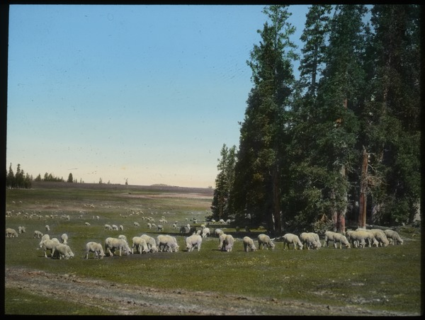 Cedar Breaks, Dixie Forest (sheep grazing by trees on plains), undated