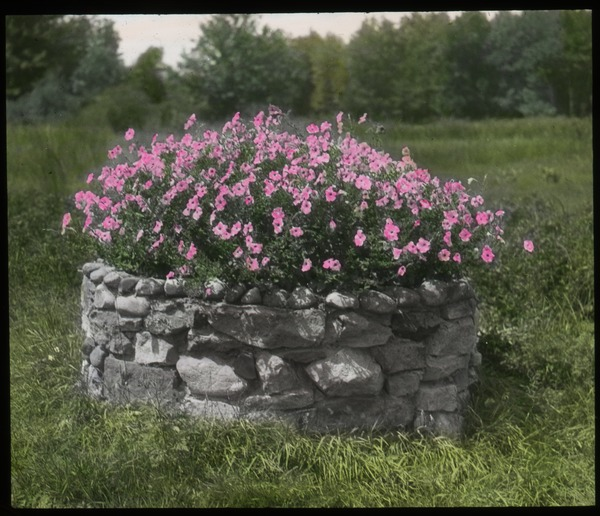 Petunias - pink petunias in round stone planter (old well?), undated