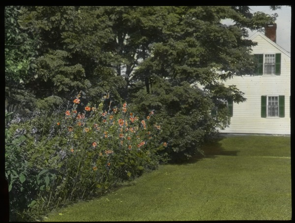 Hollyhocks in Pelham, ca. 1925