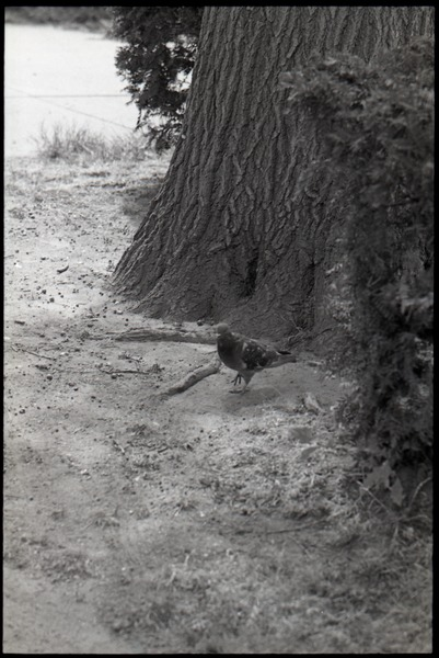 Pigeon standing at the base of a tree, ca. 1973