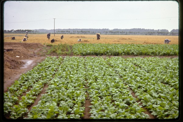 Shijiazhuang Production Brigade: vegetable rows with workers in fields beyond, June 1978