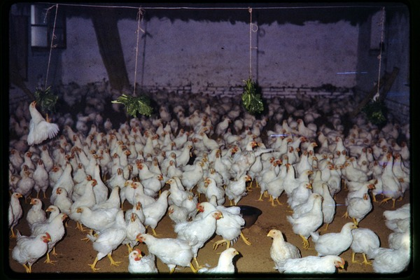 Shijiazhuang Production Brigade: chickens, June 1978