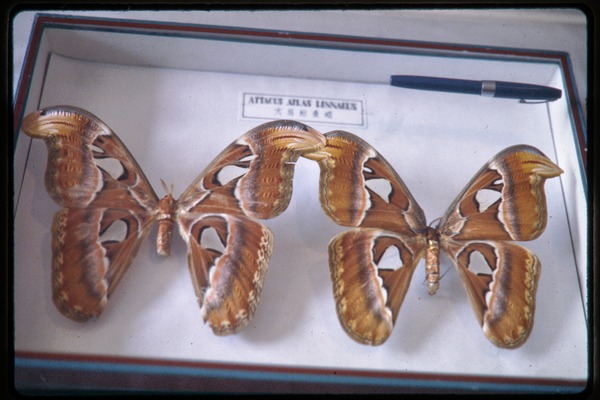Chinese Academy of Sciences, Institute of Zoology: mounted moth specimens (Atlas attacus), June 1978