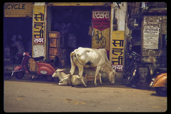 Street scene, with cattle and a scooter outside a bicycle shop, ca. July 1978