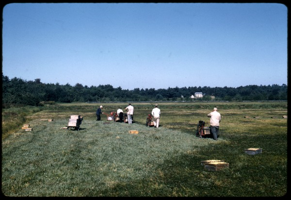 Cranberry harvest: line of mechanical pickers working down the bog; Duxbury Cranberry Company, 1960