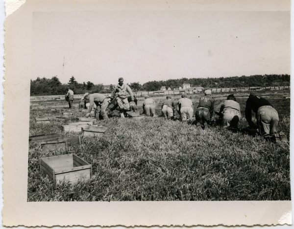 Duxbury Cranberry Company: German prisoners of war from Camp Edwards (Cape Cod)             harvesting cranberries with hand scoops, ca. 1940