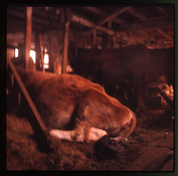 Cows in their stalls, Montague Farm Commune, January 1971