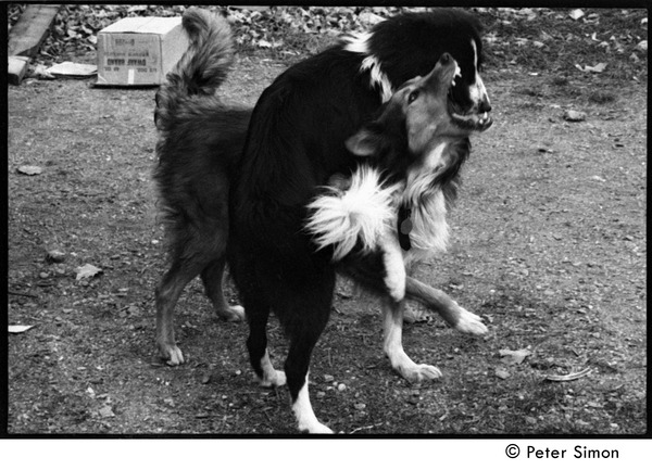 Eyore (top, also known as Barf Barf) and Montague, commune dogs, scuffling: Packer Corners commune, ca. October 30, 1968