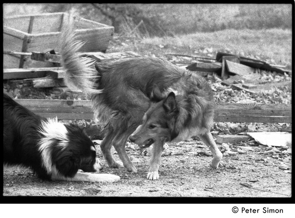 Eyore (left, also known as Barf Barf) and Montague, commune dogs, scuffling: Packer Corners commune, ca. October 30, 1968