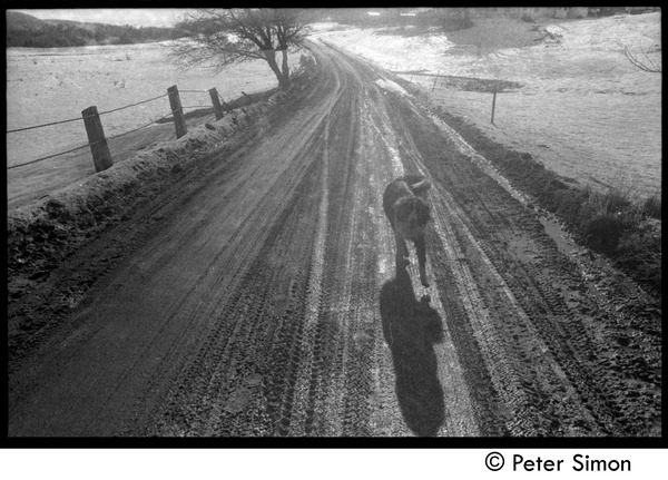 Dog walking along a dirt road, Packer Corners commune, November 23, 1968