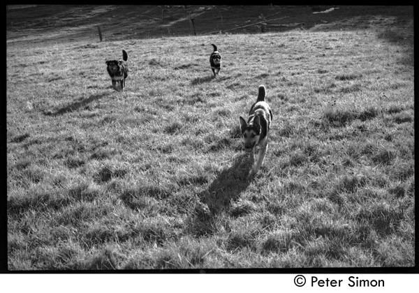 Dogs running through the fields, Montague Farm Commune, 1970