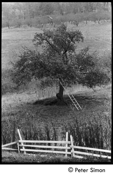 Ladder laid up against an apple tree, Packer Corners commune, October 27, 1970