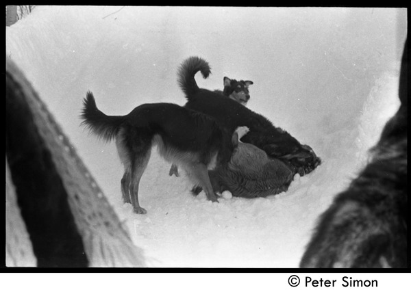 Dogs in heavy snow, Tree Frog Farm commune, 1970