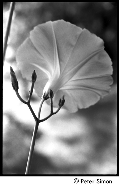 Morning glory, flower and buds, ca. 1975